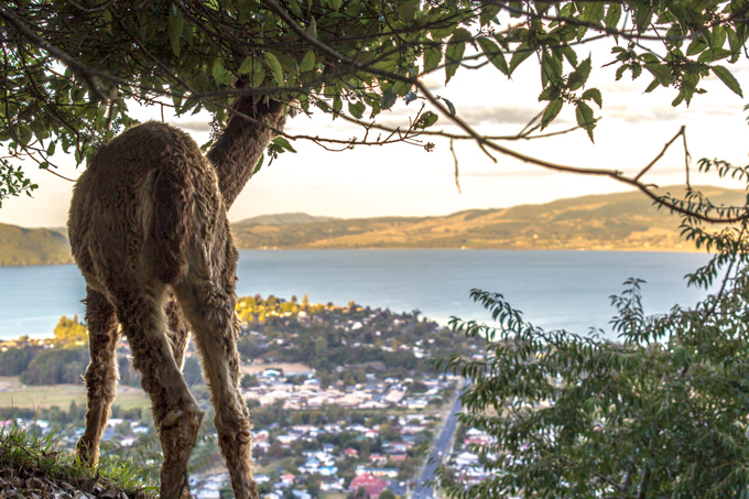 NZ-skyline-alpaca-view-H