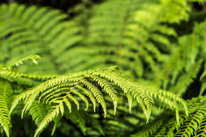 NZ-skyline-fern-H