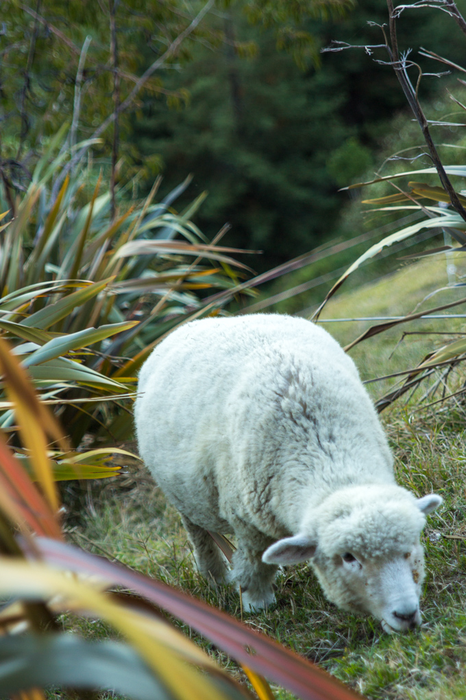NZ-skyline-sheep-V