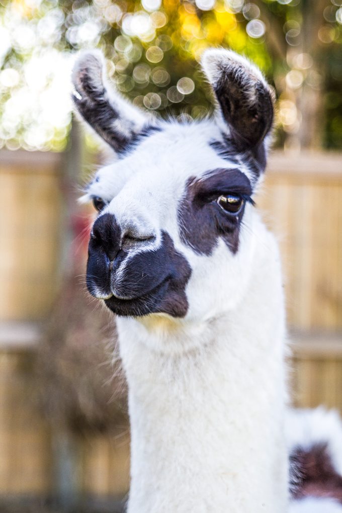NZ-Zoo-llama-white-close-V