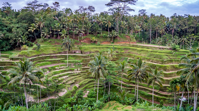 Bali rice terrace Tegallang