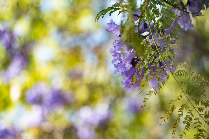 Jacaranda flowers in Los Angeles, California