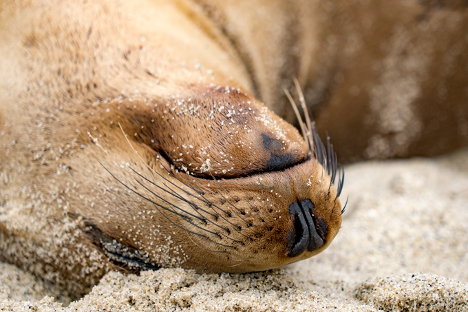 Sea lion sleeping at La Jolla Cove, California