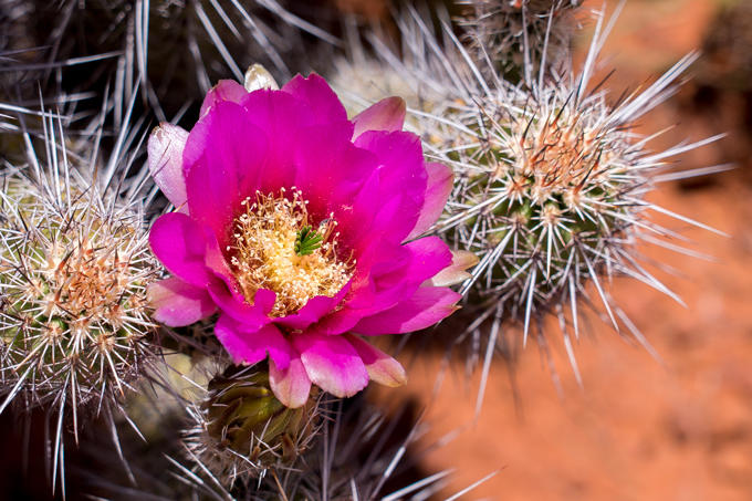 Cactus flower bloom in Man with hat at Red Rocks of Sedona, Arizona