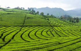 Tea plantation, Ciwidey Bandung