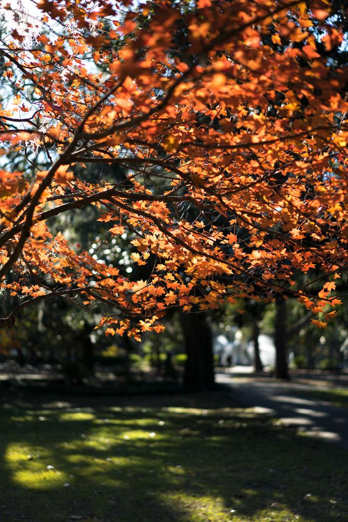 Savannah, Georgia autumn leaves downtown