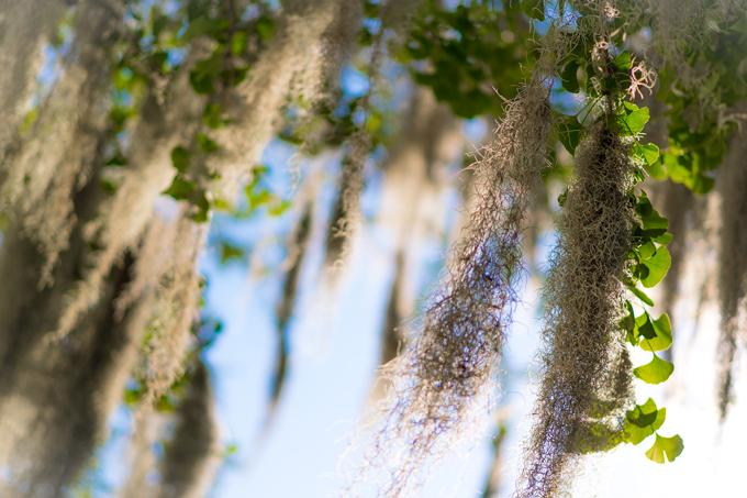 Savannah, Georgia closeup of Spanish moss