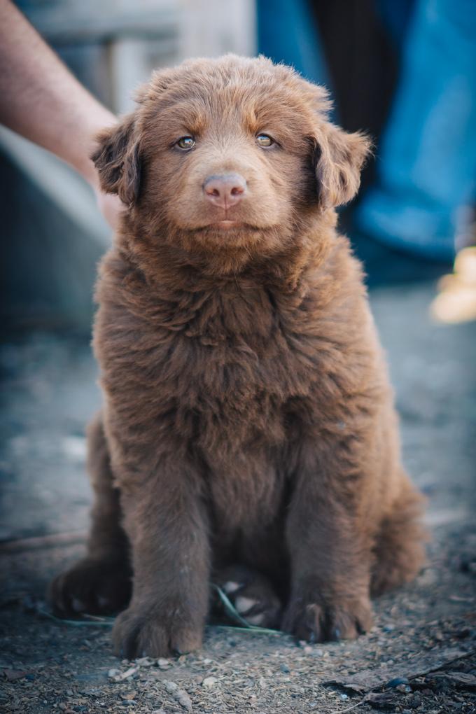 Alaskan dog