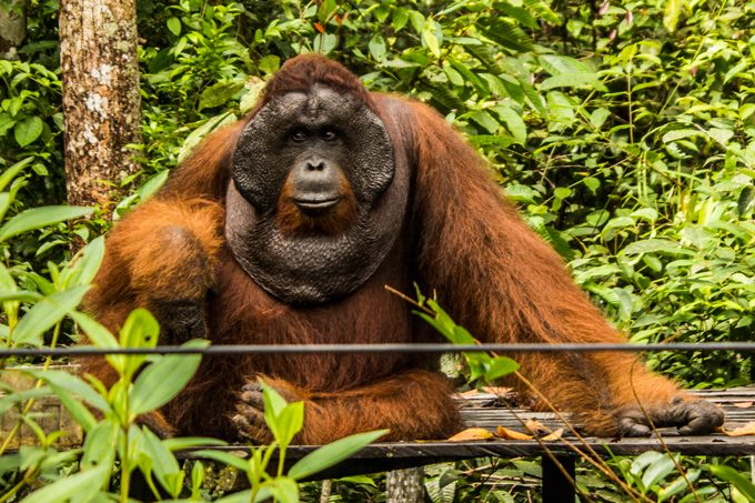 orangutan-male-sit-H