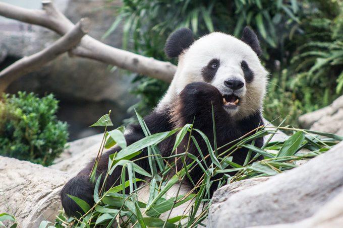 HK-ocean-park-panda-H