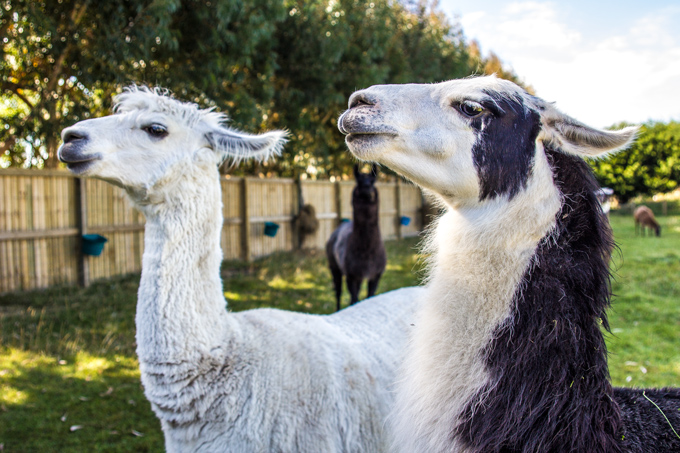 Kaikoura, New Zealand llamas
