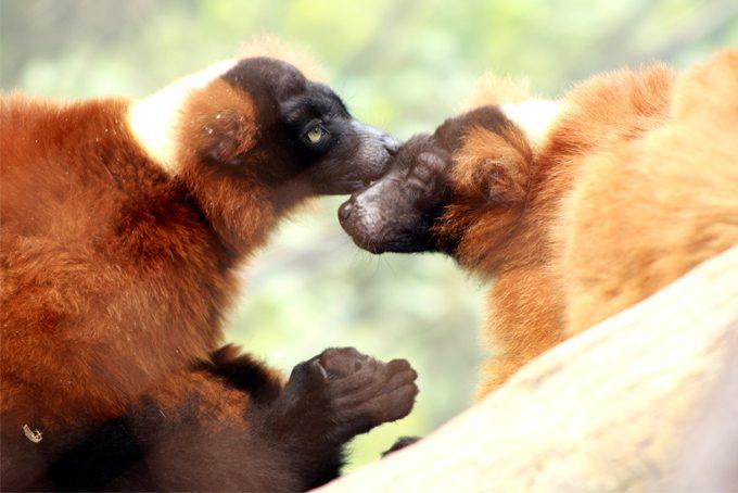 Brown lemurs grooming at Bronx Zoo, New York City