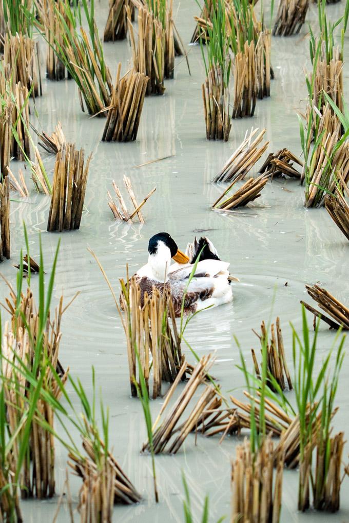 Duck swimming in rice paddy in Zhangjiajie, China