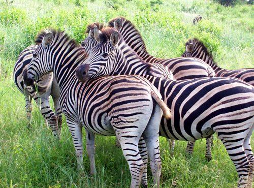 africa-zebras