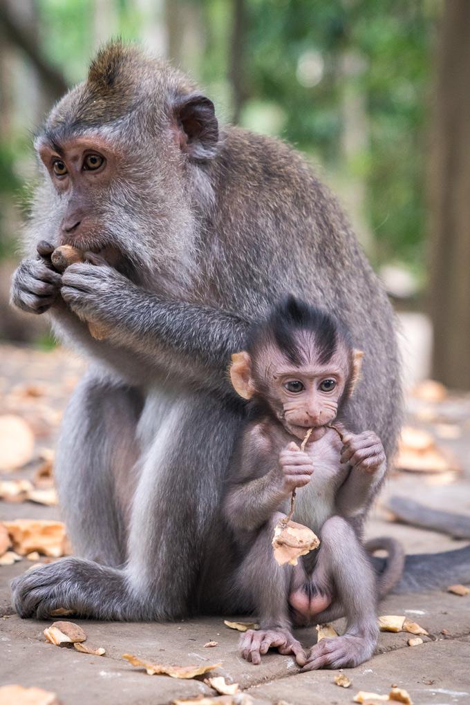 Bali-monkey-baby-V