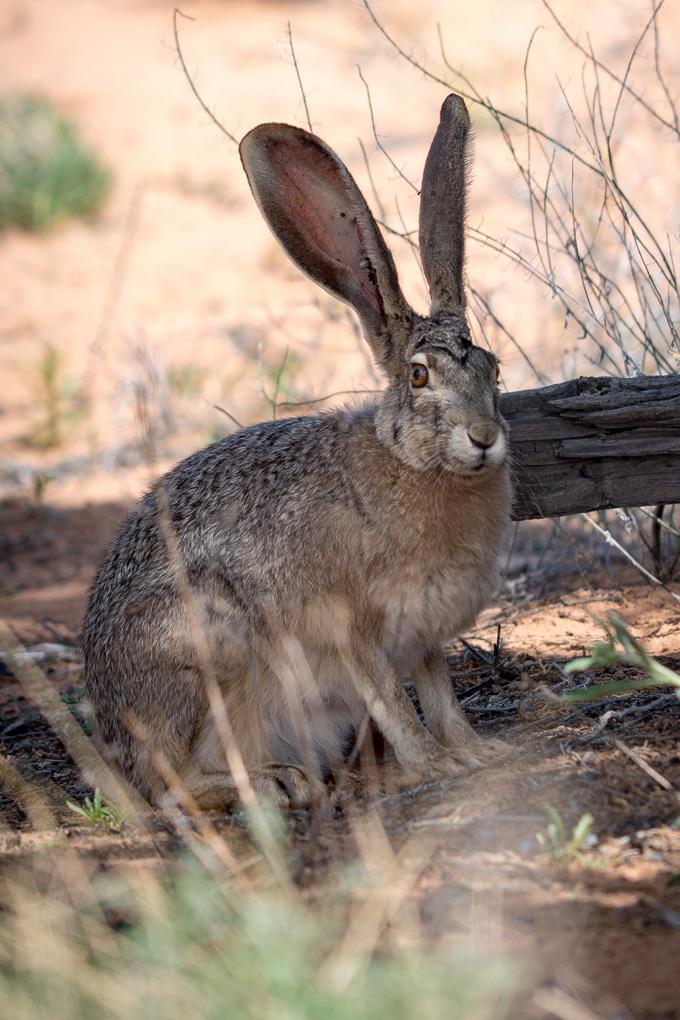 Wild hare rabbit at White Pocket, Arizona