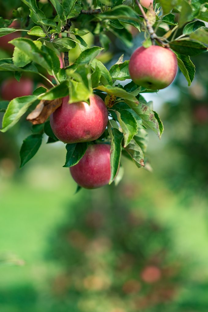 Wasem Fruit Farm apple orchard, Milan, Michigan
