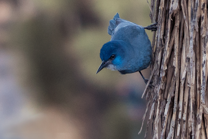 Blue bird at Joshua Tree National Park, California