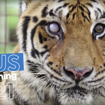 Big Cat Rescue Zeus